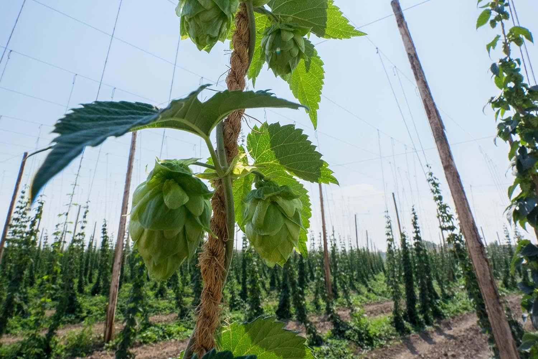 Bier Broeders hop plant op hopveld